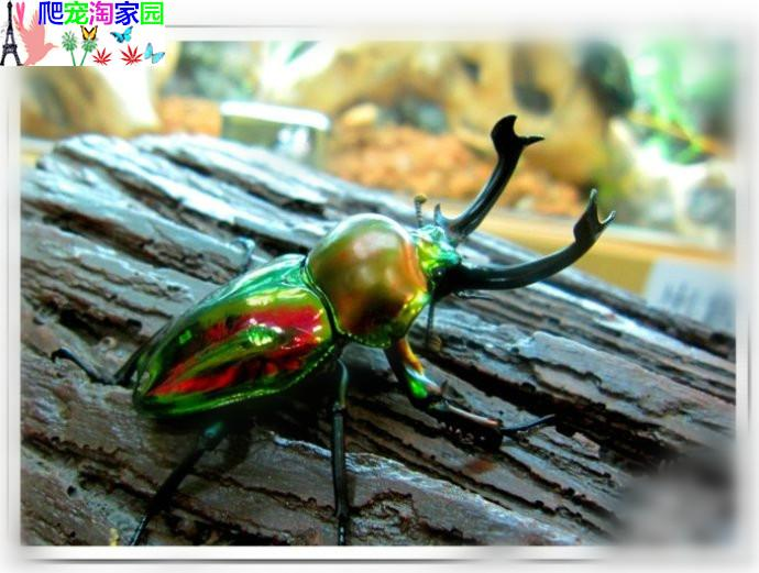 Rainbow Stag Armor Adult Beetles Larvae L1l2l3 Live Pet