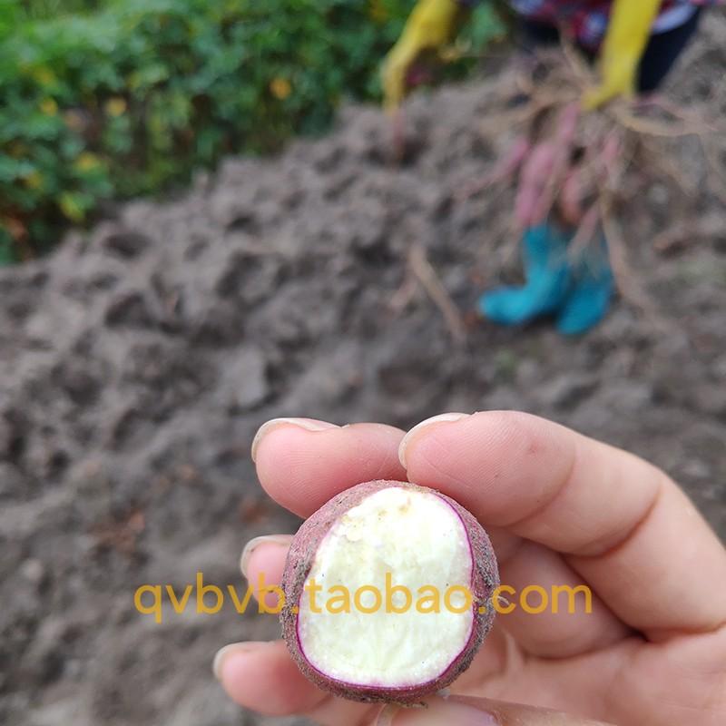 斤新鲜农家自种高州爆皮王番薯麵包王板栗白心地瓜白肉山芋干面详细照片