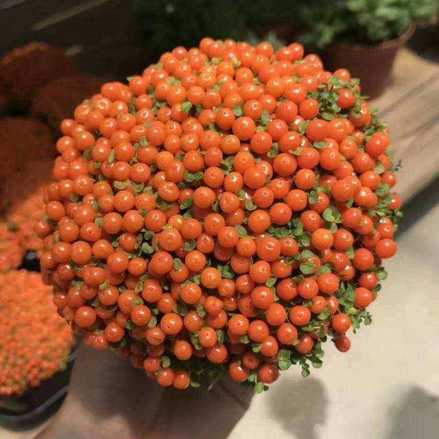 过年养一盆珍珠橙,满盆长满红果子13