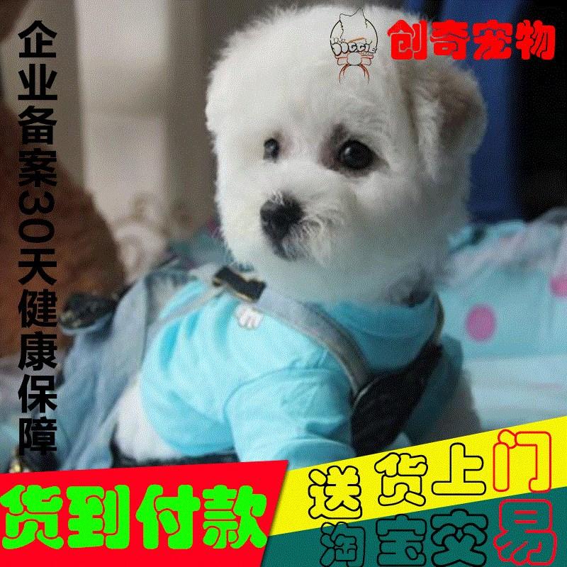 比熊幼犬出售茶杯法国卷毛狗狗宠物狗不大长纯种的活体犬迷你型
