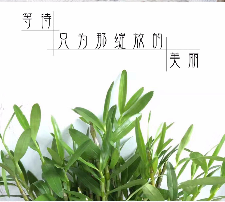 春天家居小绿植办公室客厅观赏花卉铁皮石斛兰水培植物吸甲醛盆栽4张