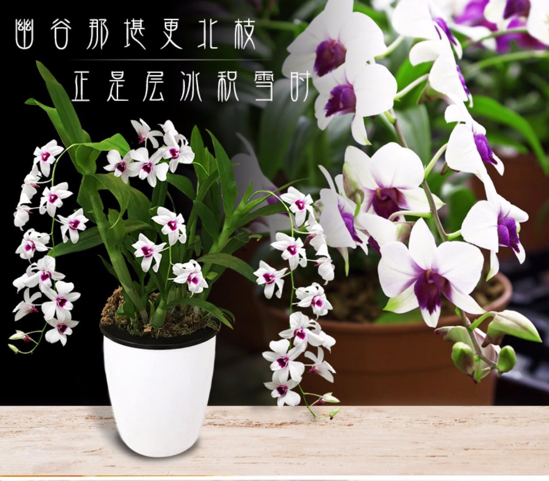 春天家居小绿植办公室客厅观赏花卉铁皮石斛兰水培植物吸甲醛盆栽2张