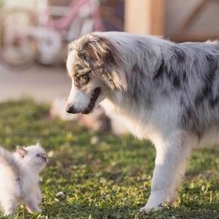 狗狗为啥怕猫咪?是因为打不过吗?