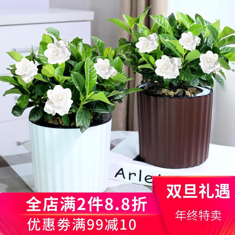 栀子花盆栽绿植盆景 办公室室内净化空气小盆栽花卉懒人桌面盆栽