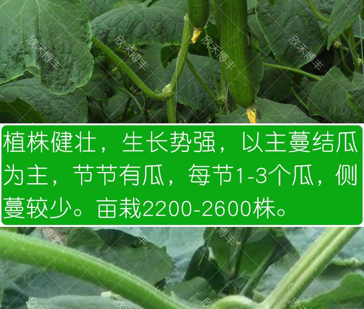 无刺水果黄瓜种子进口小黄瓜种籽寿光四季阳臺春季菜种子蔬菜种孑详细照片