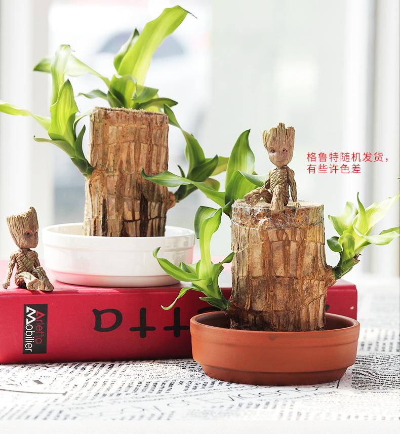 柠彩 巴西木盆栽 天猫优惠券折后¥14.6起包邮(¥17.6-3)格鲁特摆件¥5.8