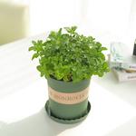 薄荷盆栽新鲜可食用环保四季常绿