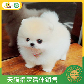 Pamper the world Purebred Pomeranian puppies dogs live small spherical pet dog white well-bred