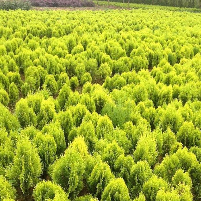 园林绿化苗木彩色树种洒金柏树苗洒金柏苗四季常青树庭院植物花卉