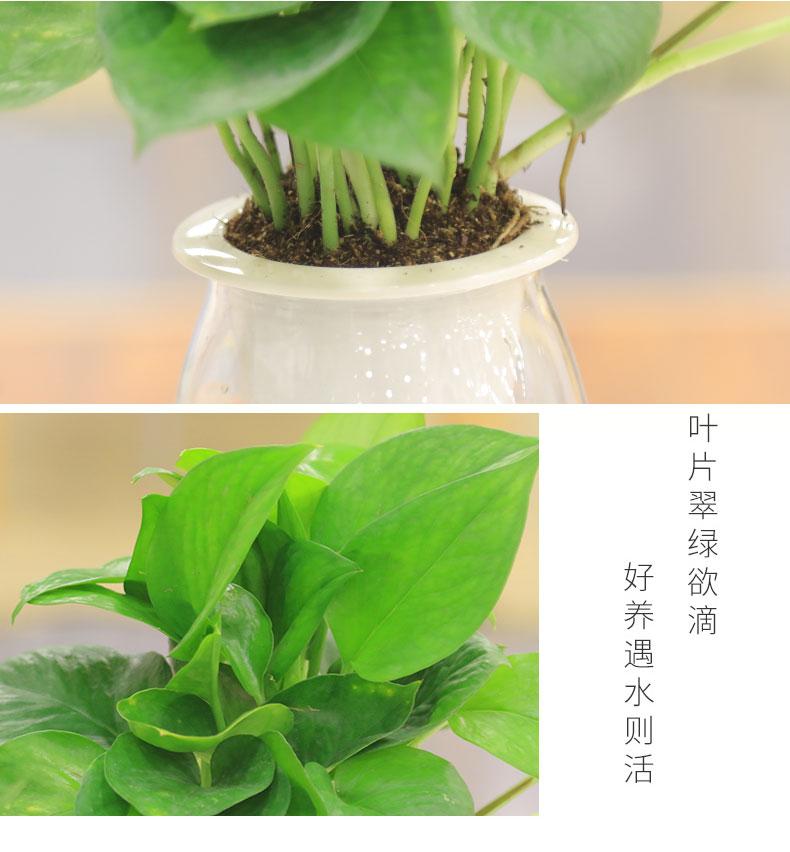 水培植物盆栽花卉绿植绿萝发财树水养殖室内植物办公桌面绿植玻璃商品详情图