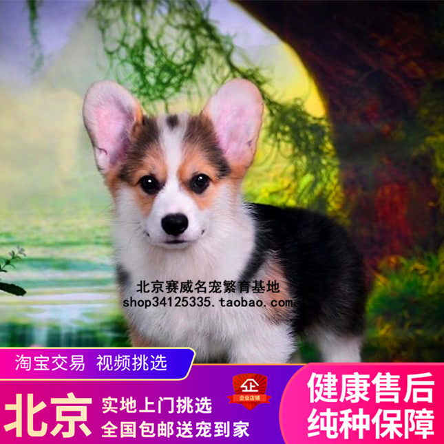 Pure-bred tricolor Koki puppy live small pet dog pup two-color short-legged  Kirky dog Beijing for sale