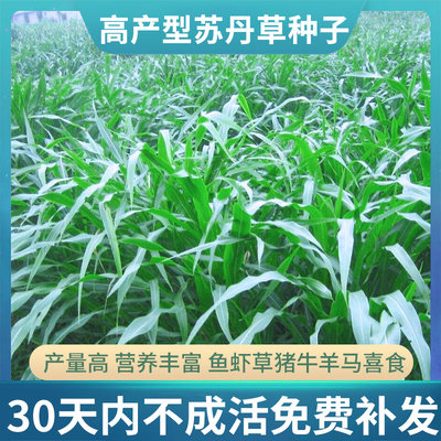 Sudan grass, grass seed, forage seed breeding, regenerated four-season livestock grass seed, high dan grass seed, fish grass seed