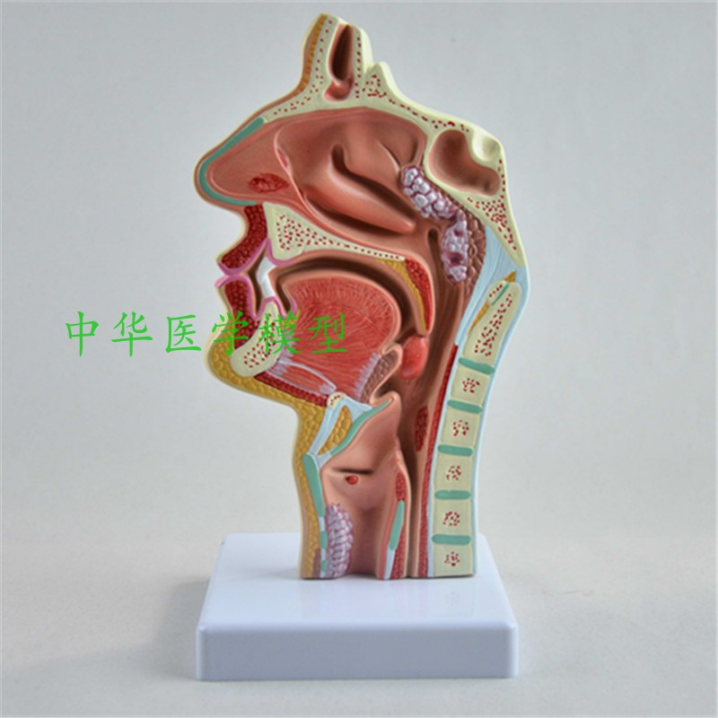 Head Anatomy Model Nose And Mouth Throat Inner Surface Vascular