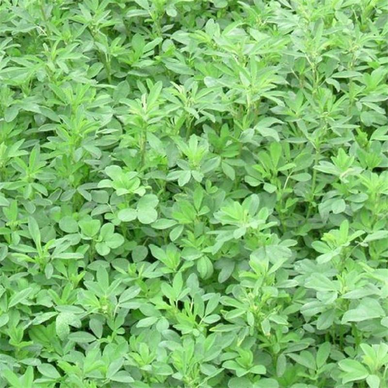 百绿大力士甜高粱高产紫花苜蓿种子种子饲用甜高粱将军菊苣