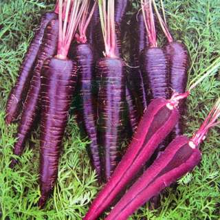 New purple carrot seeds purple ginseng vegetable seed rapeseed balcony breeding potted plant high bud rate