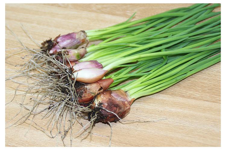 小香葱火葱红葱头种子四季盆栽室内阳台蔬菜苗香葱苗包邮