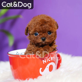 Red Teddy puppies delivered to your door imported small pet dogs purebred dogs live pups teacup dog D06