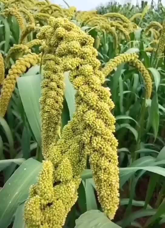 20年新小米农家黄小米小米粥月子米粗粮农家米脂钦州小米真空包装