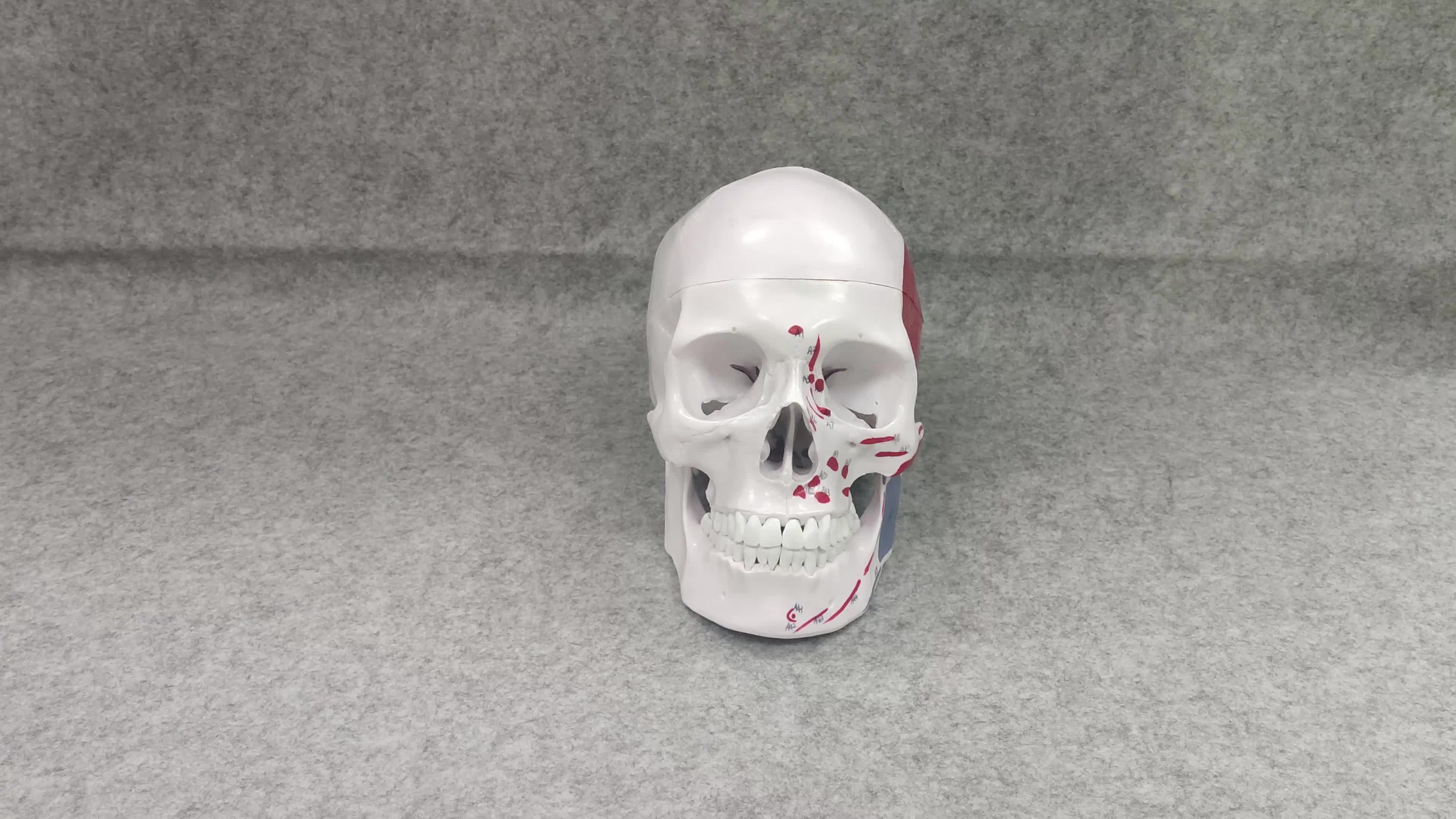 Colored Painted Muscle Marked Human Medical Plastic Skull Anatomical Model