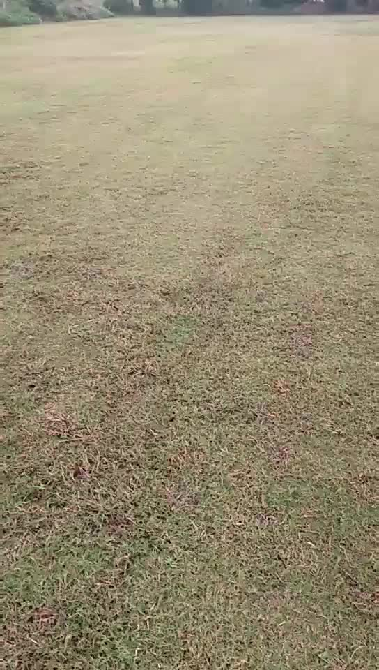 Top Quality High Germination Bermuda Grass seeds for Lawn