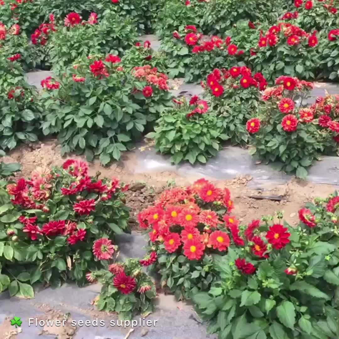 Roze Impatiens Balsamina Bloemzaden Voor Planten, Hot Koop Roze Bloem Zaden