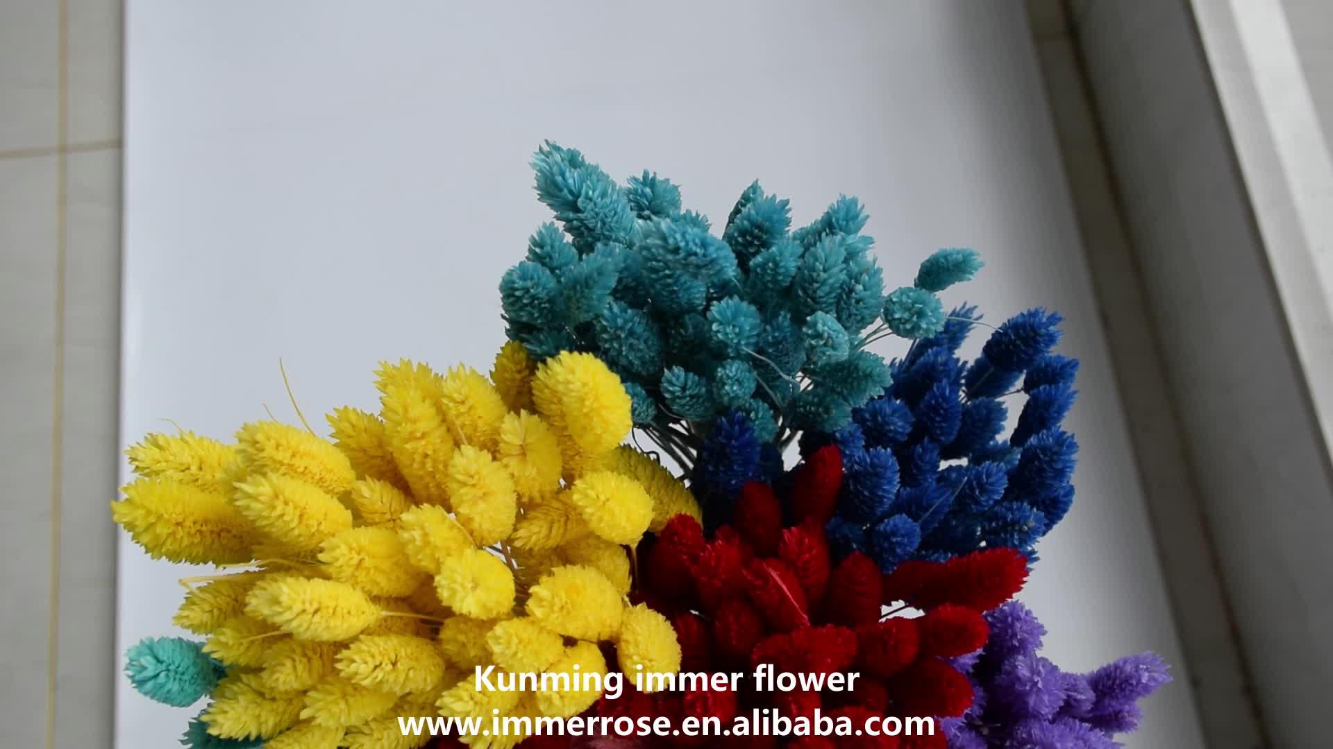 Gedroogde hond staart gras droog Phalaris bloem goedkope groothandel