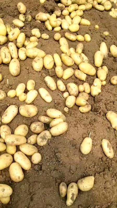 Pommes de terre fraîches/pommes de terre des pays-bas, (sacs en maille), exportation vers la malaisie, singapour, dubaï, etc