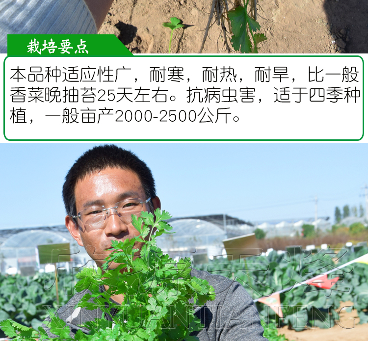 小叶香菜种子阳臺种菜盆栽大叶四季播夏季菜农家种籽蔬菜铁桿耐热详细照片