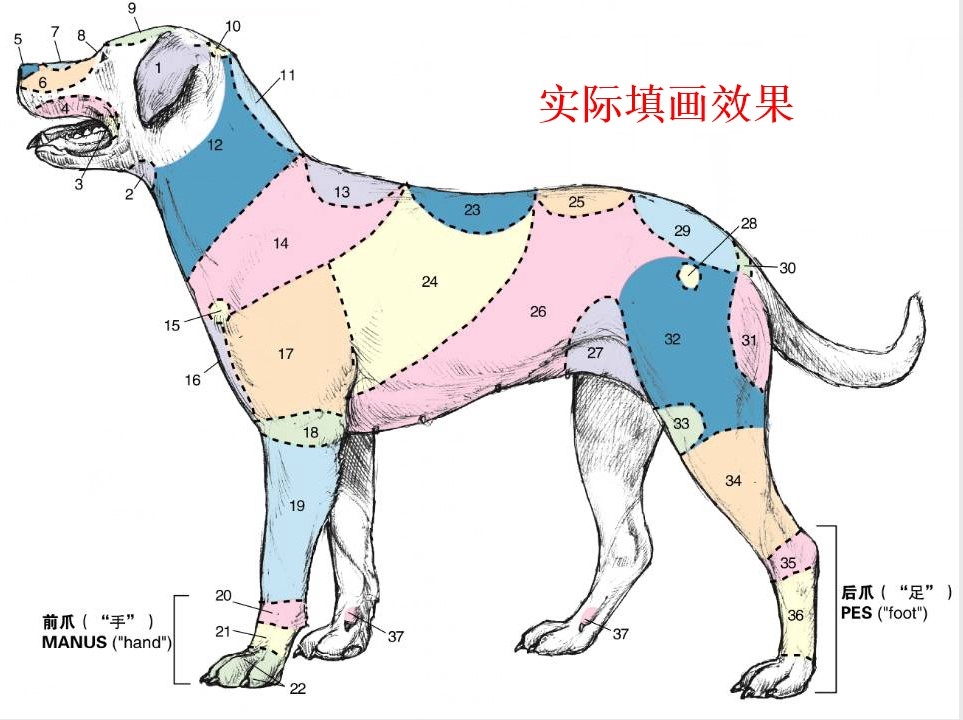 (Gift color pen)dog anatomy coloring Atlas small animal anatomy guidelines  vet bilingual anatomy book Dog Cat Clinical Anatomy color Atlas Robert A ...