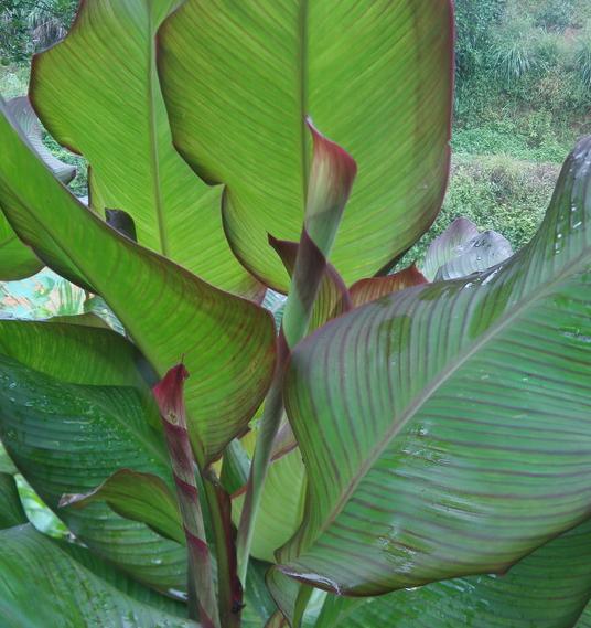 蕉芋v植物紫叶美人蕉植物花池庭院绿植室外花卉观叶带芽多年生蕉藕