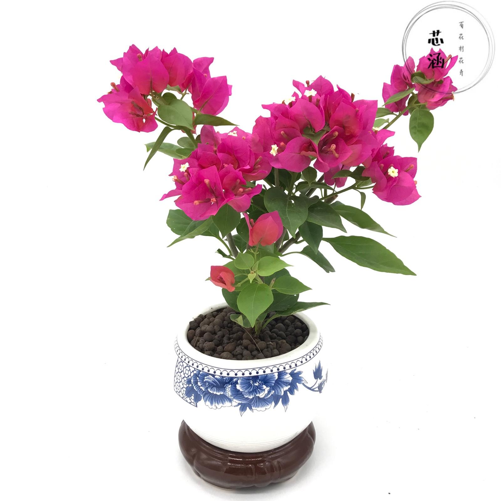 三角梅花卉庭院盆栽带花发货阳台四季室外木本植物潮州红好养盆景
