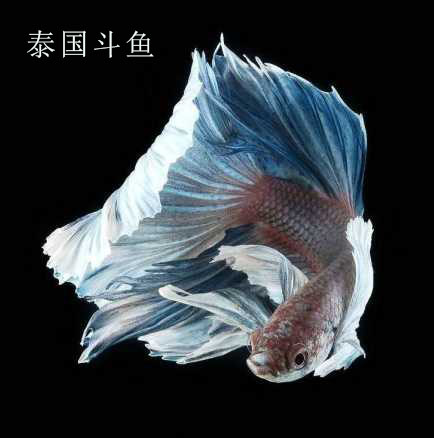 Thai import lion king horse tail half moon male and female feng shui fish  live pet ornamental tropical fish freshwater fish
