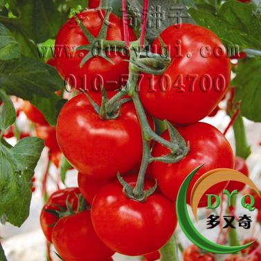 抗TY青枯病大红果番茄种子