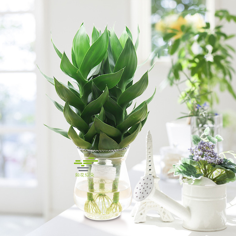 Rich Bamboo Water Culture Lotus Flower Potted Plant Indoor Plant