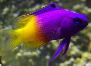 双色鱼草莓海水缸鬼王鱼双色玫瑰珊瑚天使紫草莓巴黎活体泗水玫瑰