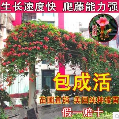 庭院绿化树苗 绿篱笆 植物围墙海桐树苗 四季常青气味芳香驱蚊虫