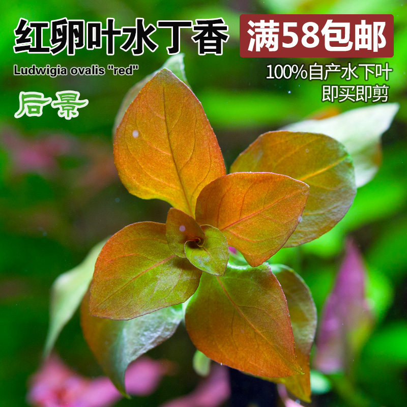 翡翠丁香 Ludwigia sp.inclinata Green form 水草100%自养水下叶