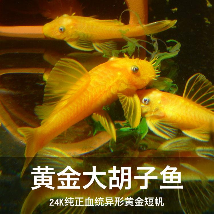 异型清道夫蓝眼大胡子24k德系红眼黄金大帆观赏鱼除藻工具热带鱼