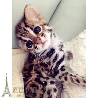 亚洲豹猫_赛级宠物小猫咪纯种活体宠物猫孟加拉豹猫幼猫幼崽亚洲豹猫亚豹