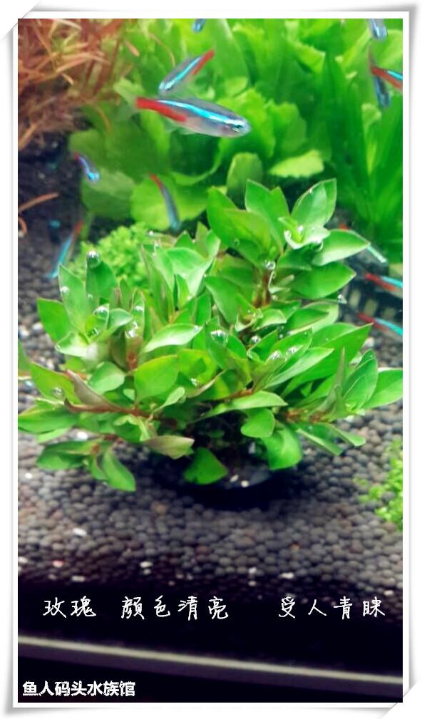鱼缸造景活体有茎真水草绿菊大宝塔宫廷蜈蚣草丁香绿羽毛椒草包邮