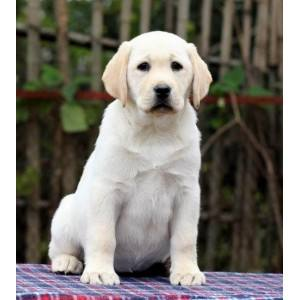Selling Purebred Labrador Retriever Puppy Guide Dog Large Dog Puppy