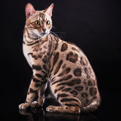 亚洲豹猫_宠物小猫咪 纯种活体宠物猫孟加拉豹猫幼猫幼崽亚洲豹猫包健康1