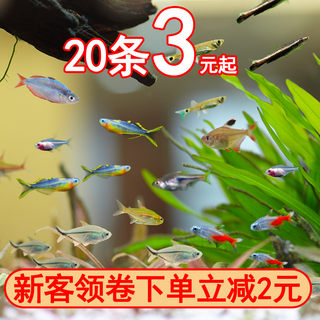 Live small fish, traffic light fish, small light fish, swimming fish, tropical ornamental fish, Baolian light fish, live fish, freshwater fish