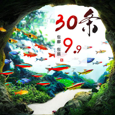 Tropical ornamental live fish good health lot Lotus ladue freshwater goldfish seedlings clear husky small traffic lights