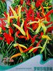 Ornamental pepper seeds Multicolored peppers Balcony pots Spring sowing seeds Pepper fruits and vegetables Flower millet pepper