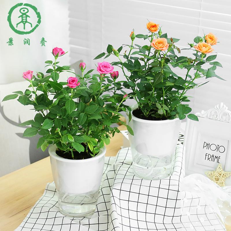 【水培植物】玫瑰<font color='red'><b>花盆</b></font>栽四季开花带花苞