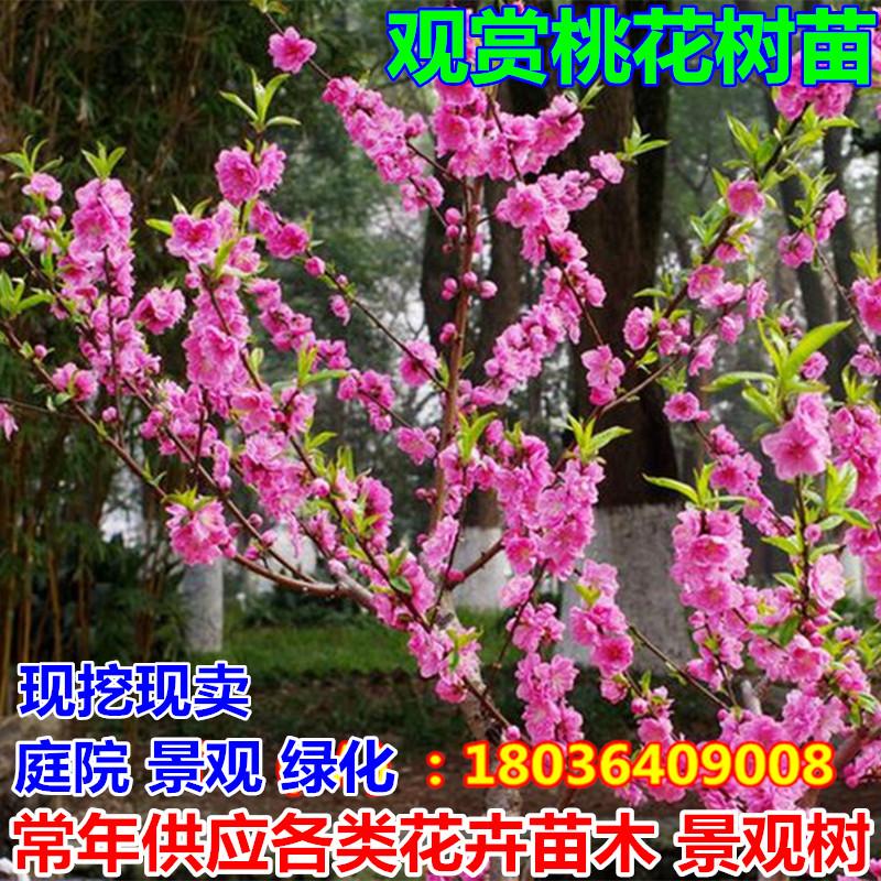 观赏桃花树苗桃花树活苗碧桃辟邪树庭院植物地栽盆栽园林绿化苗木