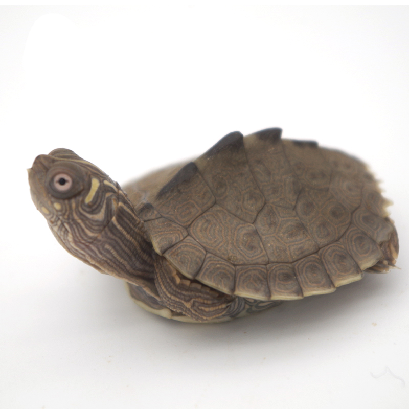 Ba Jie sister Mississippi map glans seedlings small turtle deep water  turtle pet turtle live lucky turtle full product