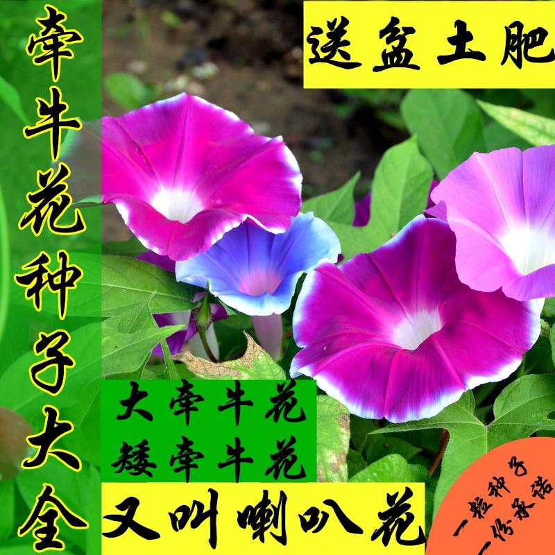 牵牛花庭院攀爬爬藤喇叭花花海矮杆不爬藤花卉种子阳台种子盆栽