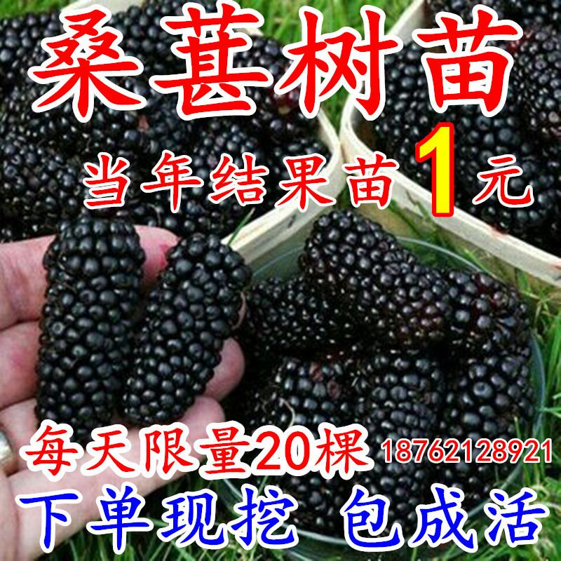盆栽桑椹南方北方种植水果桑葚v盆栽桑树苗大叶超长黑桑四季白树苗